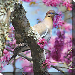 West of the Wind Dove in Redbud Outdoor Canvas Art - 24 x 24 in. - 77736-24
