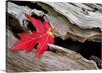 Great Big Canvas Red Maple Caught in the Mouth of a Log by Mike Moats Canvas Wall Art - MM1144_24_24X16_NONE