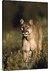 Bentley Global Arts Global Gallery Budget GCS-397083-2436-142 Tim Fitzharris Mountain Lion Or Cougar Walking Through A Field of Red Paintbrush Flowers North America Gallery Wrap Giclee on Canvas Print Wall Art
