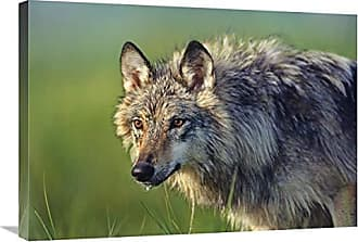 Bentley Global Arts Global Gallery Budget GCS-396019-30-142 Tim Fitzharris Gray Wolf Native to North America Gallery Wrap Giclee on Canvas Wall Art Print