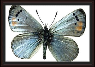 EAZL Sonoran Blue Butterfly by Eazl Walnut Framed Premium Gallery Wrap