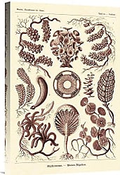 Bentley Global Arts Global Gallery Budget GCS-449755-1624-142 Ernst Haeckel Nature Illustrations: Siphoneae Hydrozoa-Rose Tint Gallery Wrap Giclee on Canvas Wall Art Print