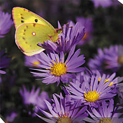 West of the Wind Golden Butterfly Canvas Outdoor Art - 79007-24