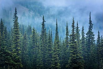 Noir Gallery Pine Trees in Fog at Olympic National Park Wall Art - AP-10-TW-08