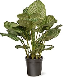 National Tree Company National Tree 30 Inch Garden Accents Green Calathea Plant in Black Pot (GACP30-30G)
