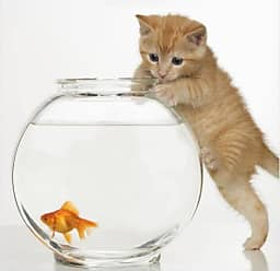 EAZL Kitten Trying To Get A Goldfish From The Bowl by Eazl Premium Gallery Wrap