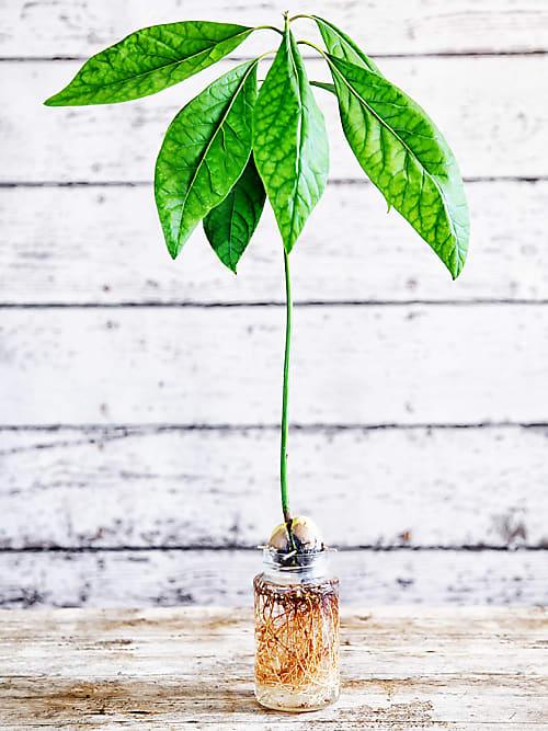 avocadokern einpflanzen so einfach geht 39 s stylight. Black Bedroom Furniture Sets. Home Design Ideas